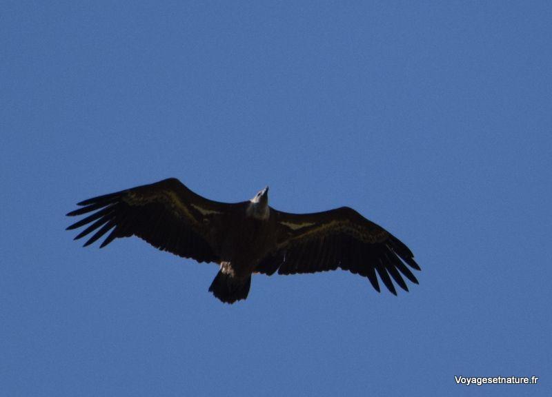 Remuzat où les vautours fauves se repoduisent sur la falaise du Caire
