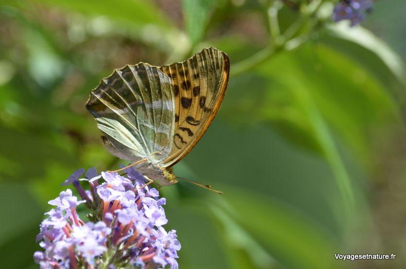Papillons du jardin