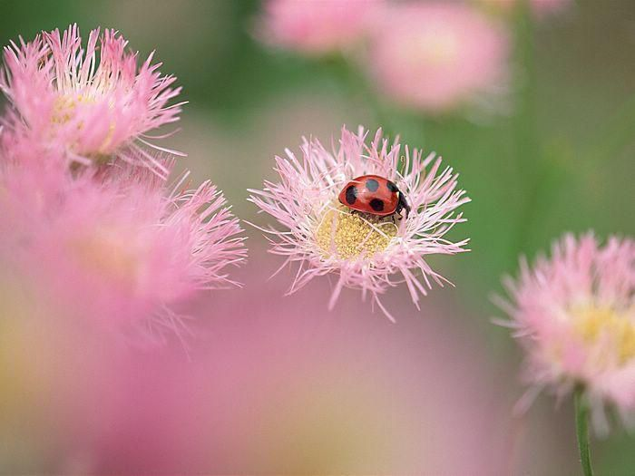 1 animal-insecte-coccinelle21