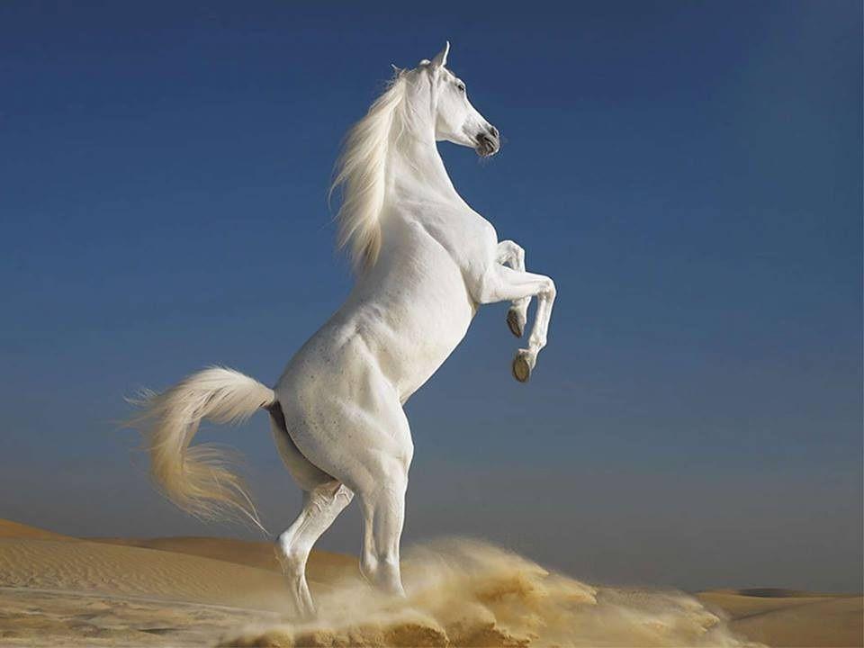 1 animal-cheval-blanc-25