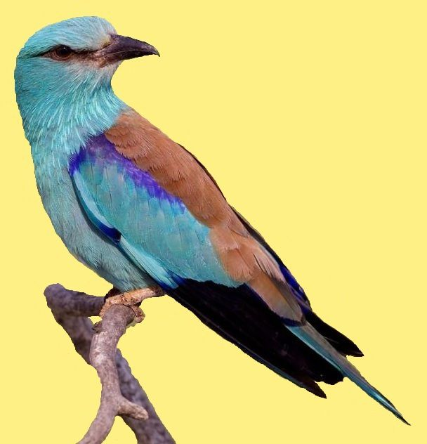 1 animal-oiseau-bleu-colored-14