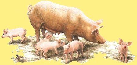 1 animal-porc-truie-et-porcelets-00-art