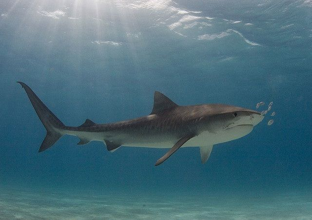 animal-requin-tigre.jpg