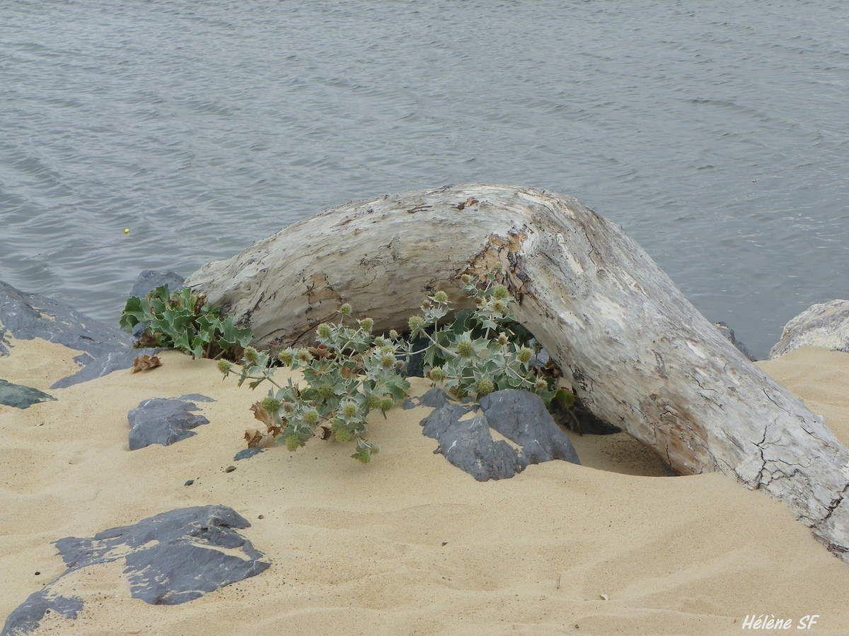 Mes plantes qui piquent, chardons bleus, chardons des sables...