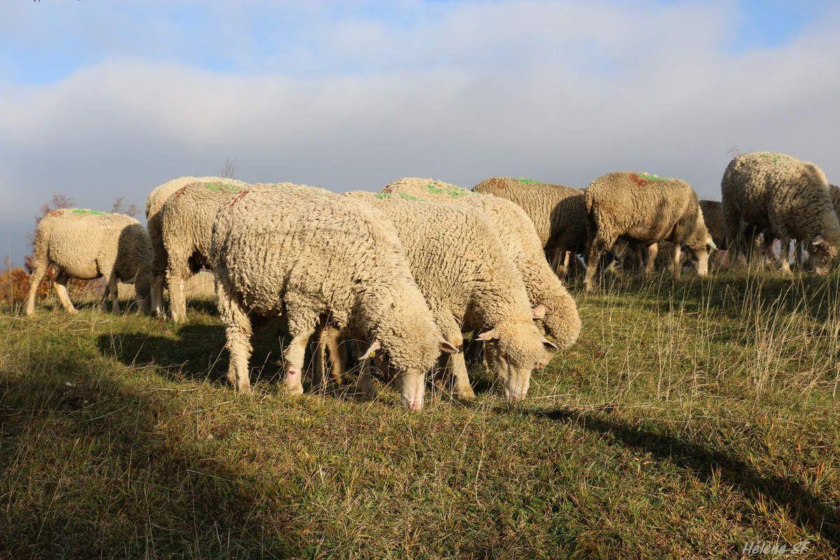 On n'est pas des moutons, oh que non! Poème et réflexions