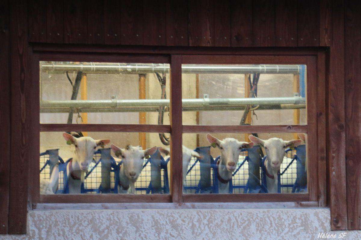 Des chèvres à la fenêtre!