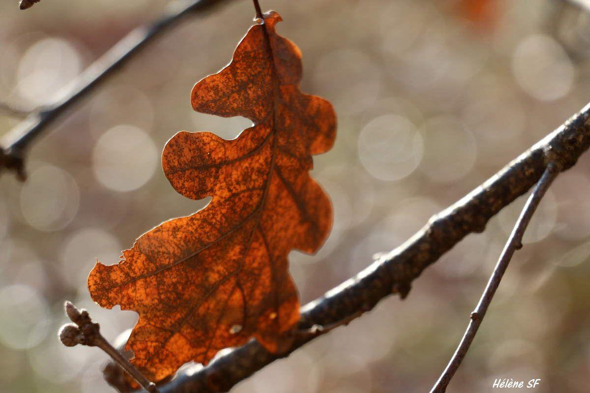 Comme une valse d'automne avec une simple feuille de chêne