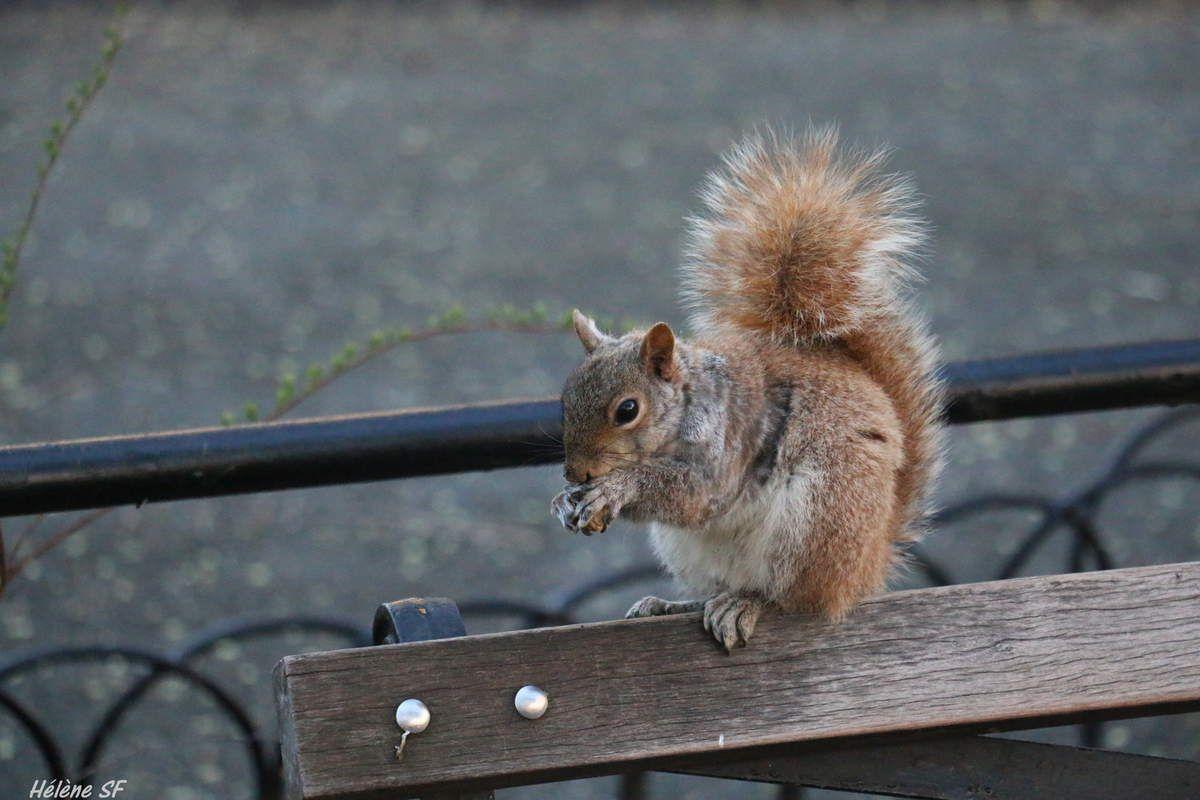 Où voir des écureuils à New York?