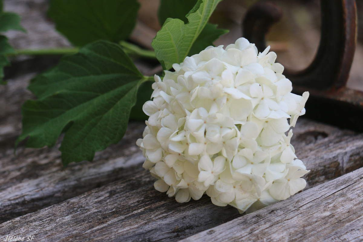Boule de neige et Seringat, images reposantes des fleurs blanches de mon jardin en Provence
