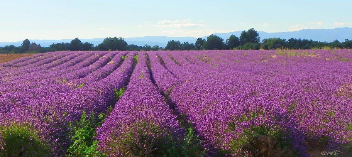 Idée de soirée romantique en début d'été en Provence, avec des champs de lavandes en fonds d'écrans