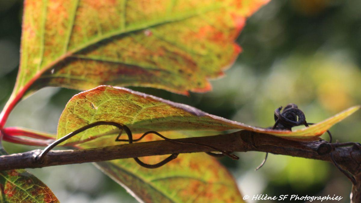 Magie de la vigne vierge à l'automne en 8 fonds d'écran