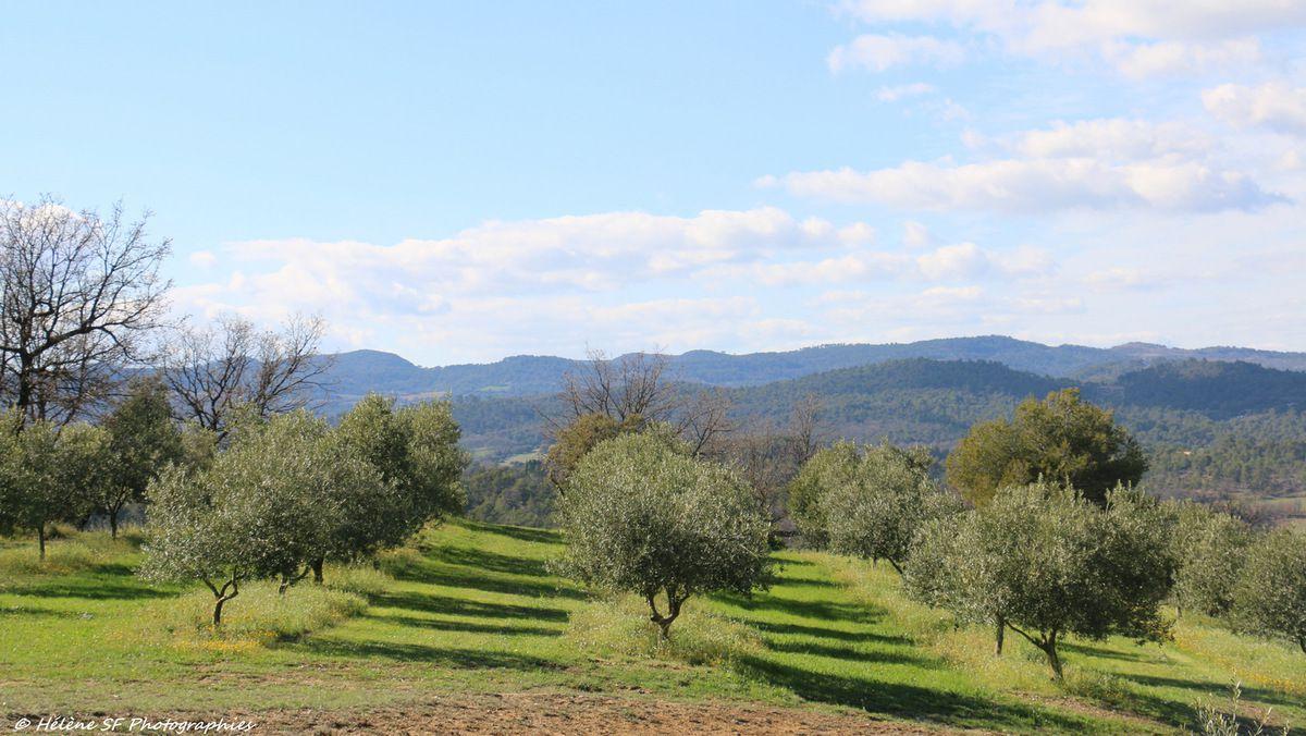 Champs d'oliviers en Provence, randonnée au dessus de Corbières, à une demie-heure d'Aix-en-Provence