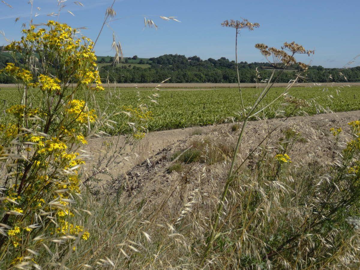Un des nombreux champs de muguet. Énormément de travail pour un jour de vente par an !
