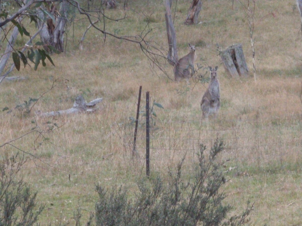 Evidemment on était entouré de kangourous dont ici une maman et son petit...