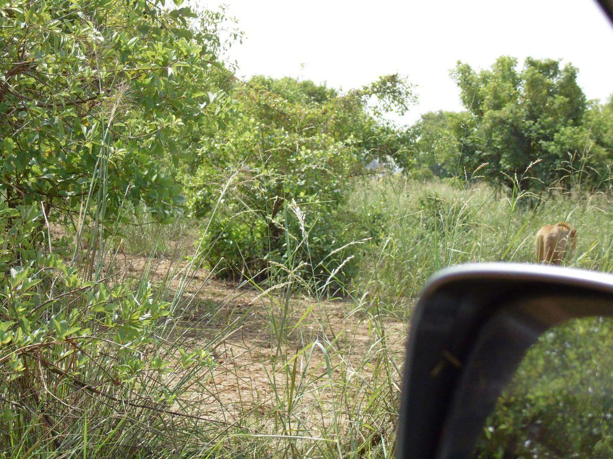 Parc de la Pendjari (en y allant et sur place !). Le lion est de dos (dommage !!!) et le moteur plein d'herbes inflammables ! Et ça brûle partout ! Plus de photos + tard...