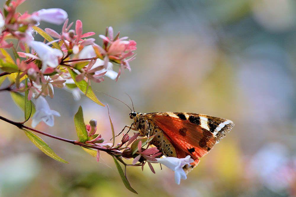 L'Ecaille chinée (Callimorpha quadripunctaria)