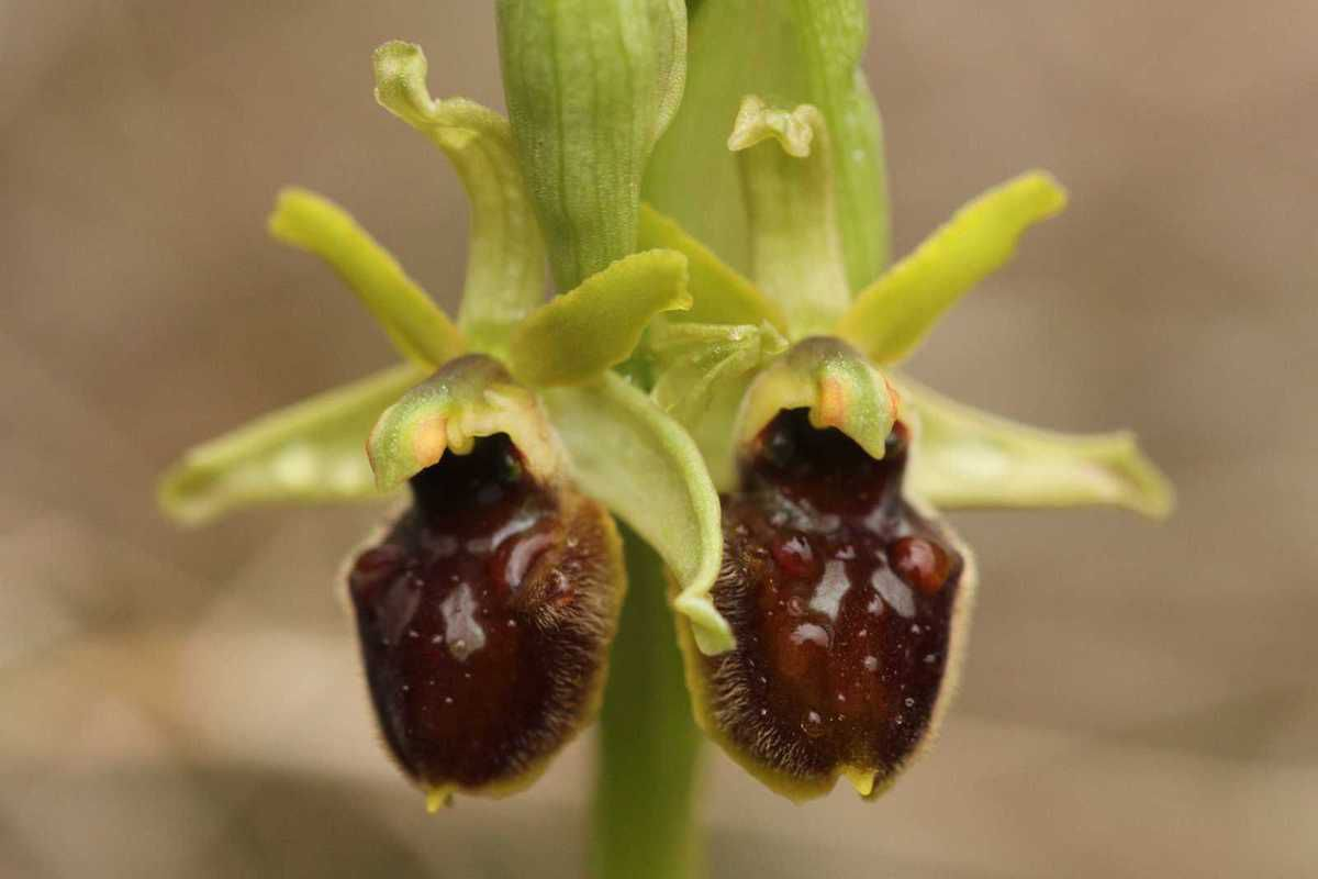 Ophrys pluvieux