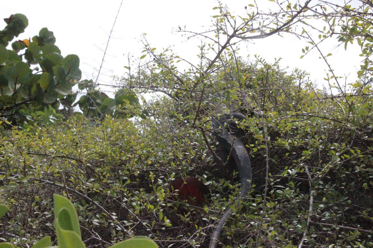 Sur cette île les habitants sont des Iguanes