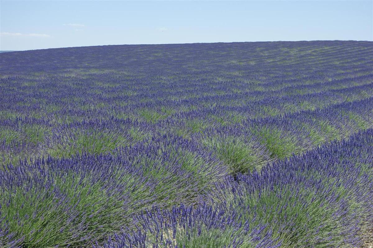 les champs de lavande du plateau de Valensole