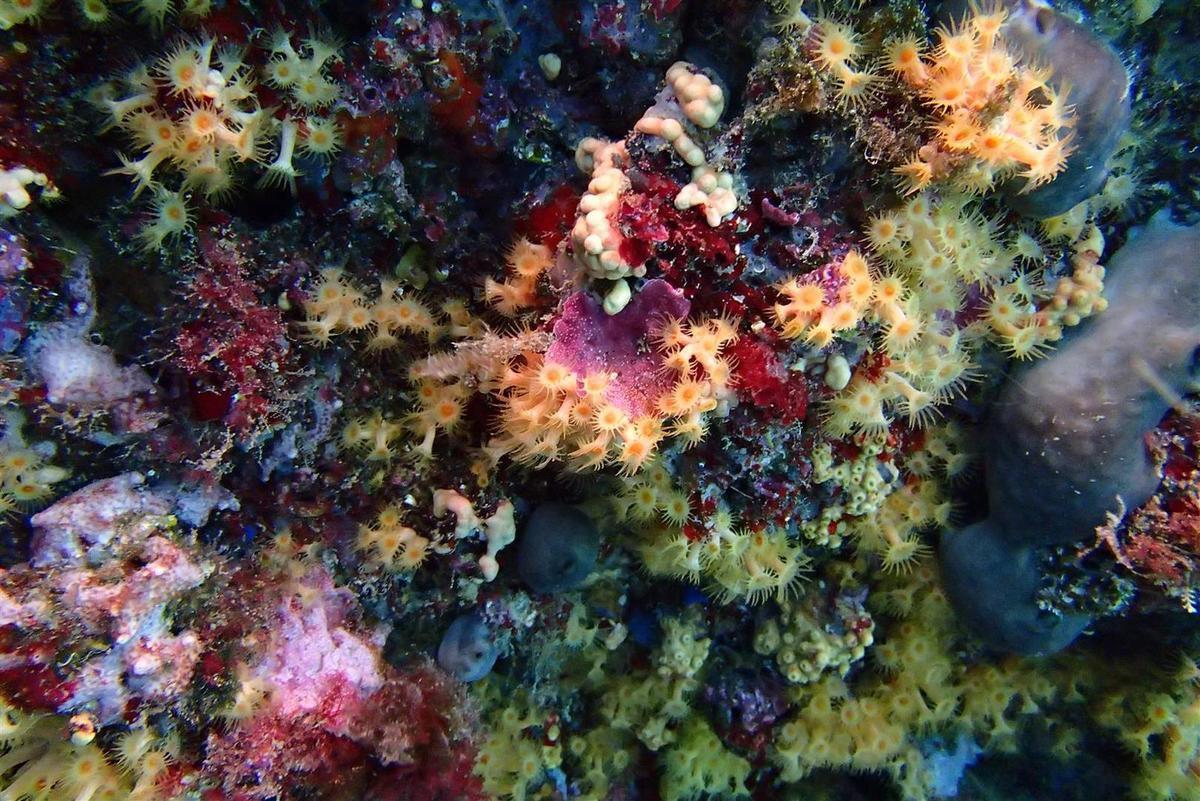 le tombant du Moulon, ses gorgones, éponges et anémones disséminées sur le coralligène