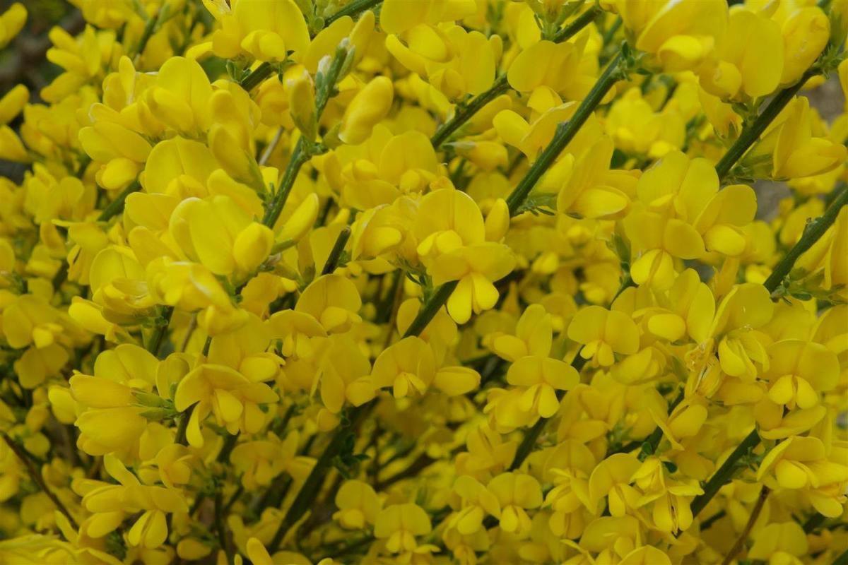 détail de la coronille en fleurs