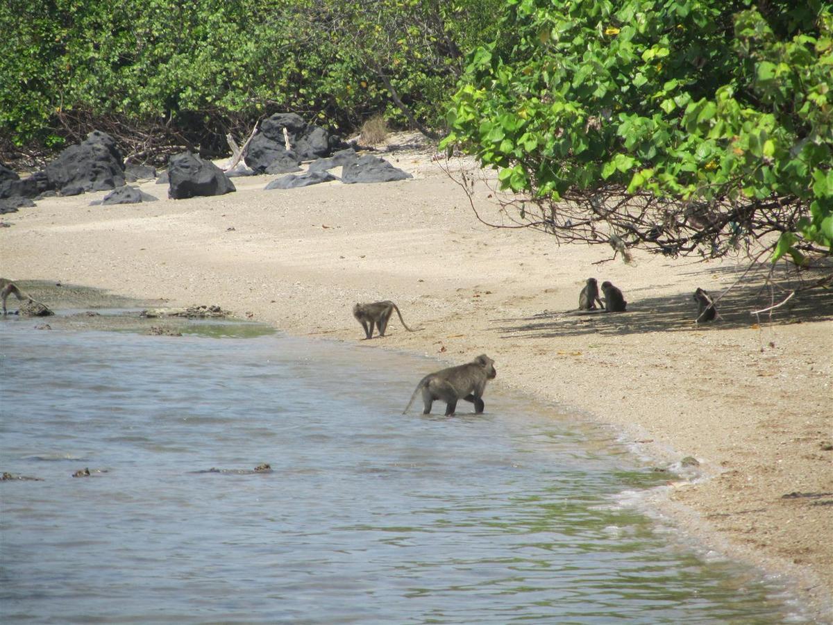babouins, Java, septembre 20177