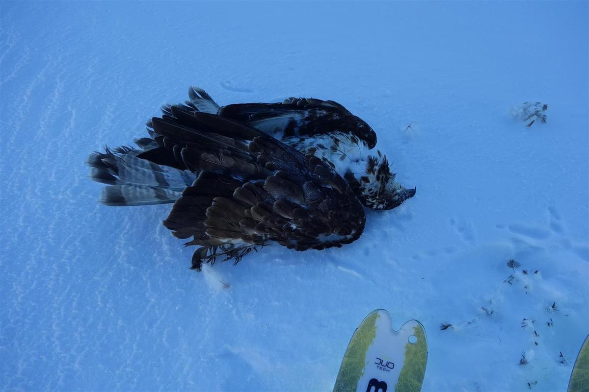 J2 : un aigle malchanceux sous le col