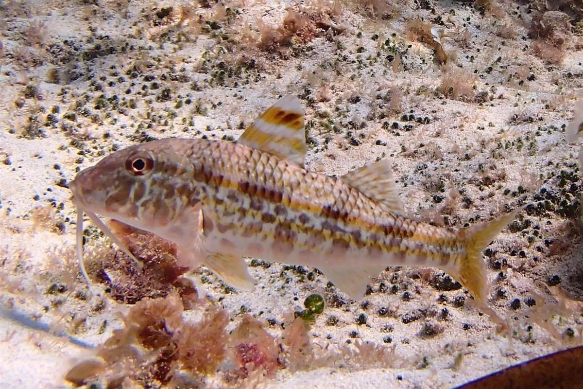 Cala Boquer, au-dessus de l'eau et sous l'eau (girelles, poissons trompette et barbu)