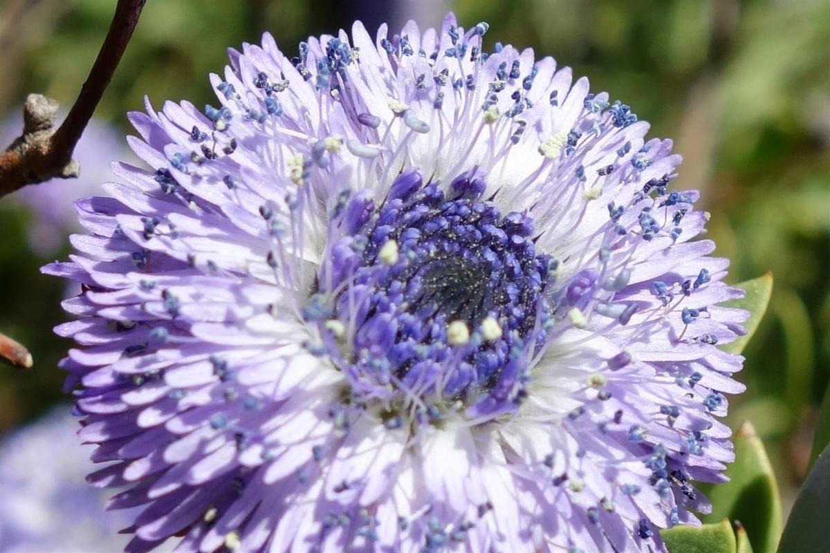 la flore du jour : globulaire, orchidée, narcisse