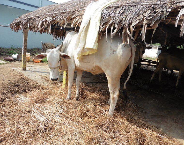 Chapitre 200 : Jillelamudi , 3 : les vaches