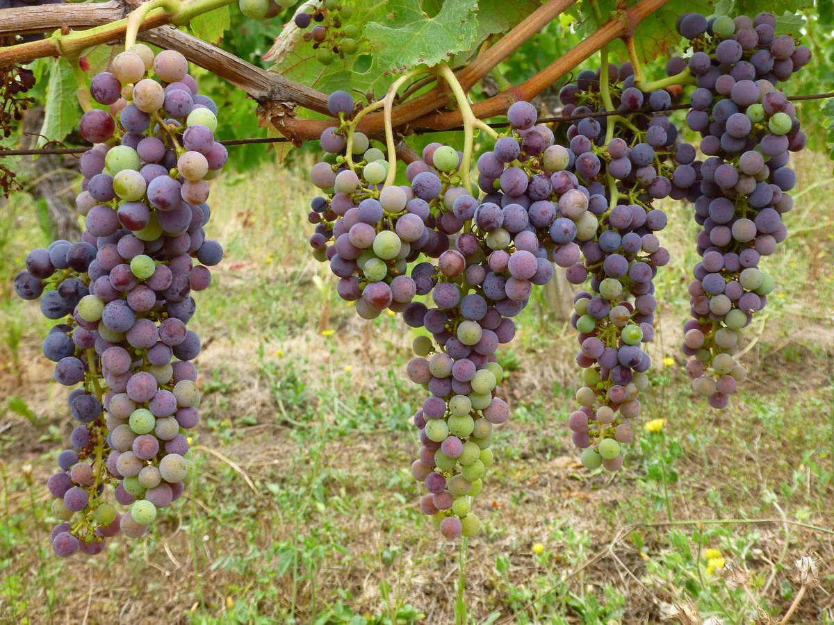 Parcelle de vignes de 40 ans, située à l'arrière du domaine (06/08)