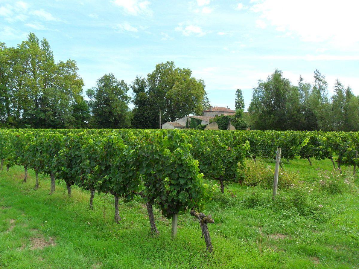 Le soleil baigne généreusement les vignes
