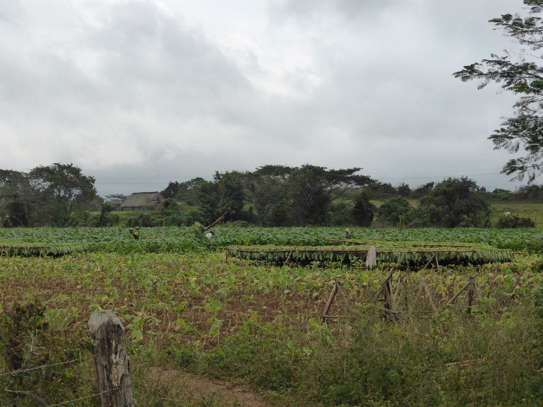 La Valle de Vinales - La culture du tabac