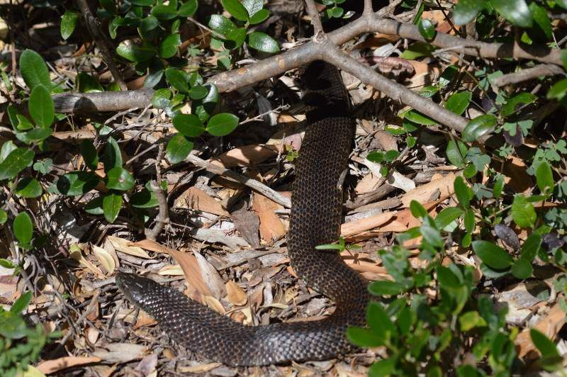 Tiger snake (Picture by Jon)