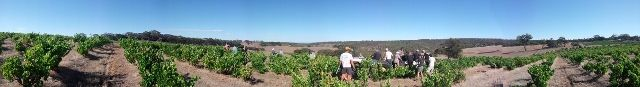 Les vendanges - grape picking