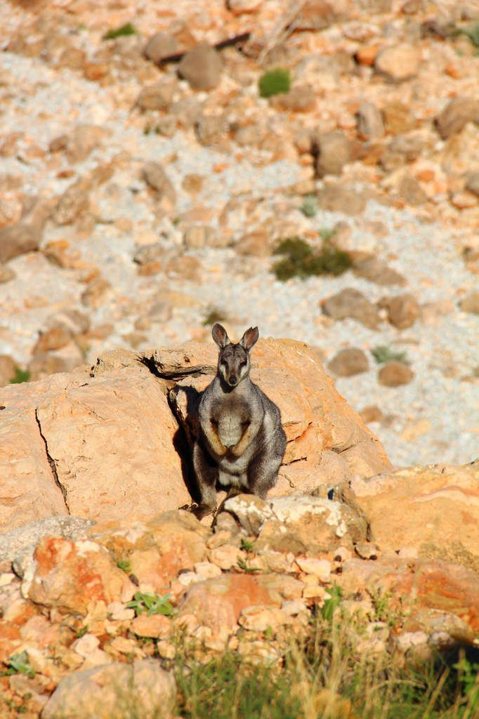 Rock wallabies à Yardie Creek walk