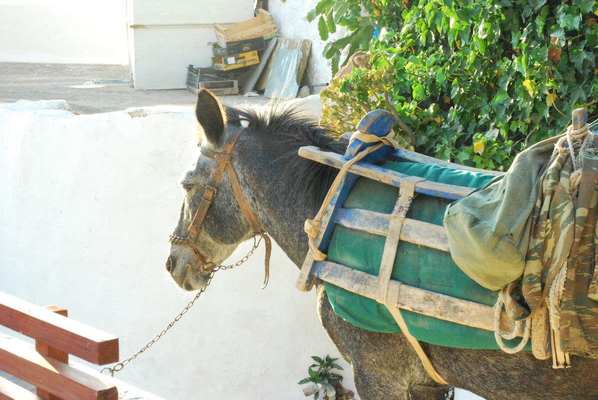 A Amorgos les ânes sont encore  en activité