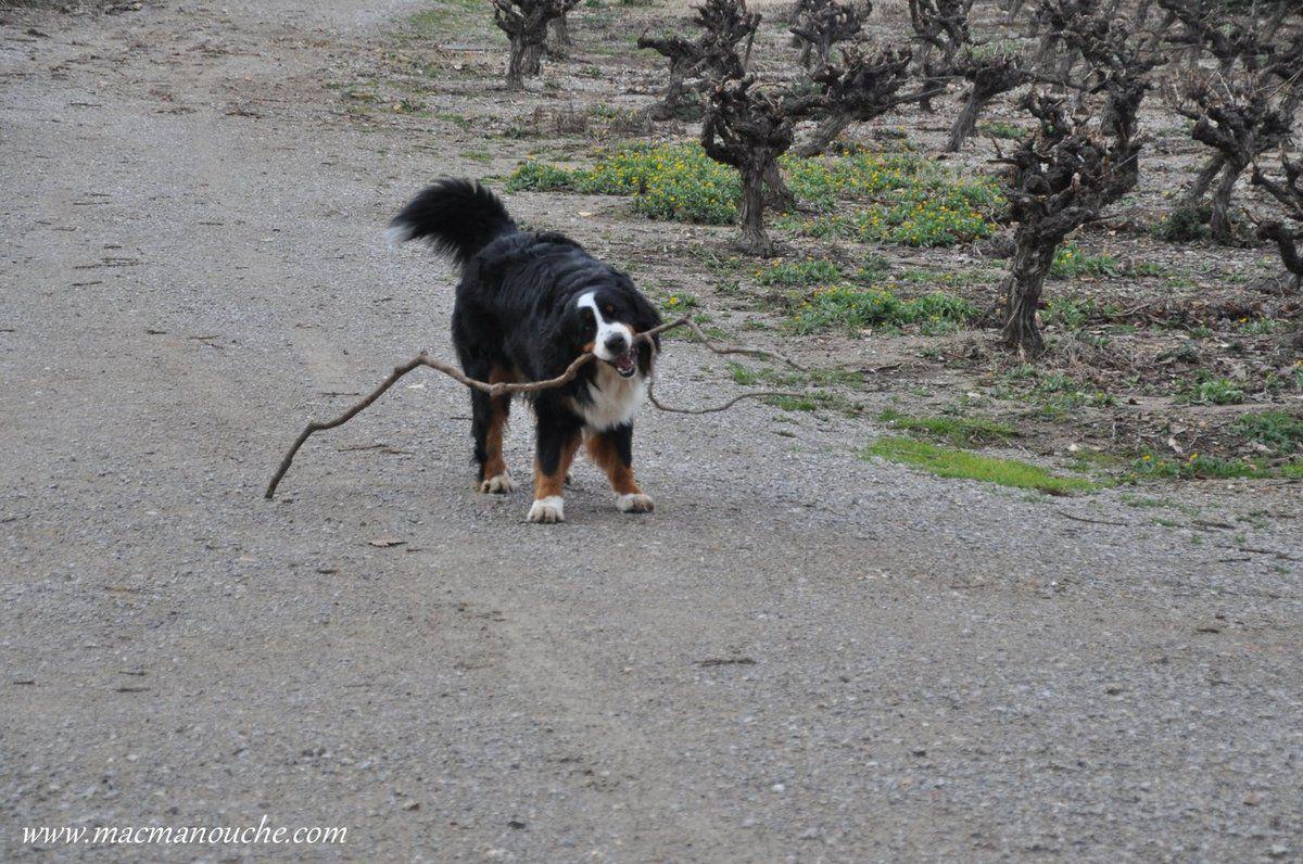 Sur le chemin du  retour, Jaïka a trouvé une branche pour jouer!