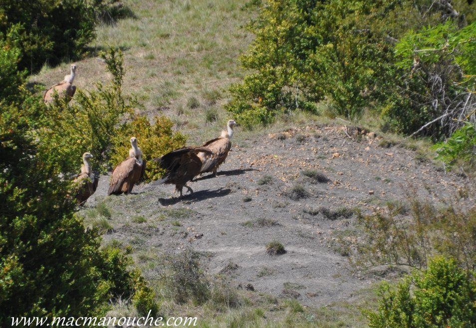 … == > …  vautours qui étaient en train de dépecer une brebis morte.