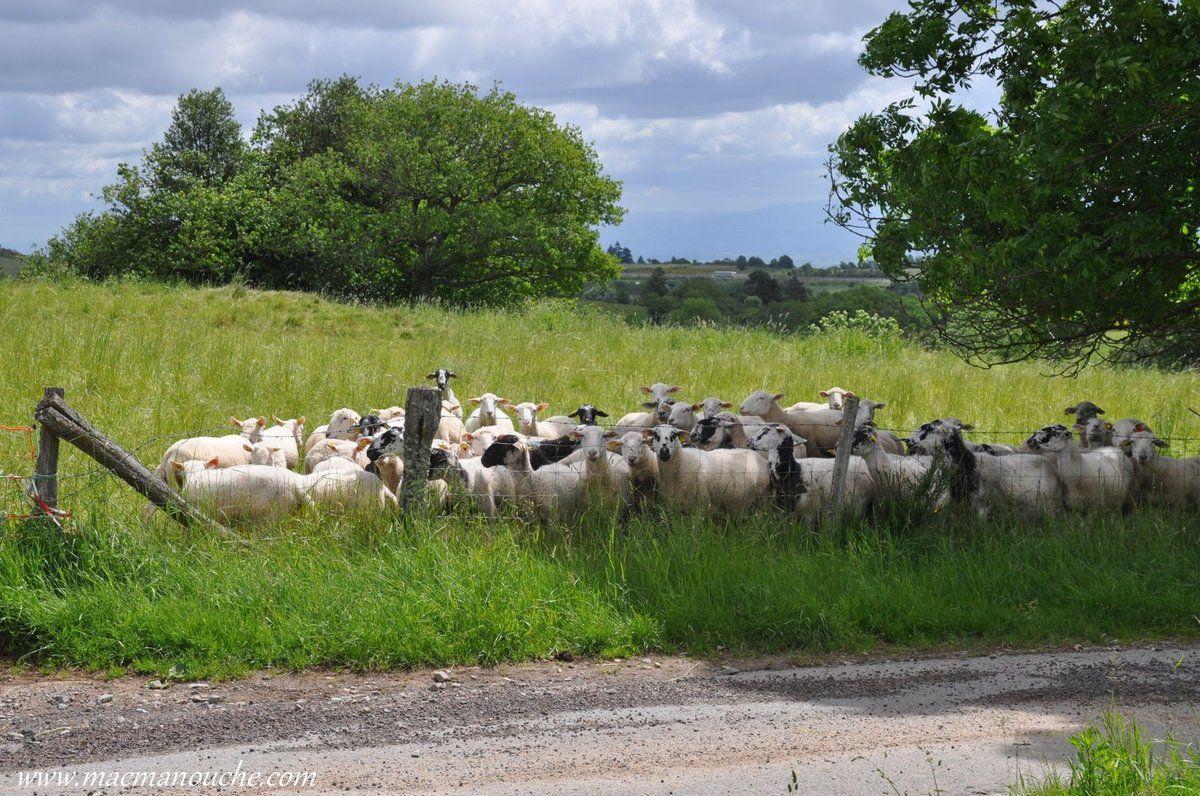Sur le chemin, un troupeau de moutons vient nous saluer!