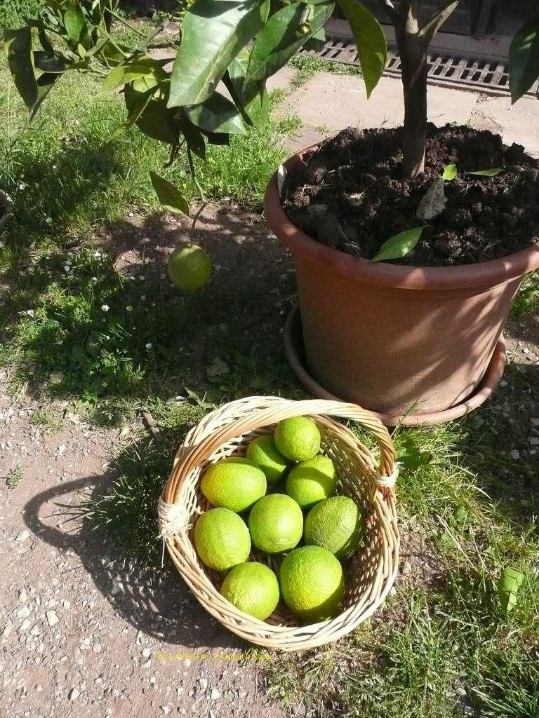 La récolte des oranges avec en plus la dernière main de bouddha !