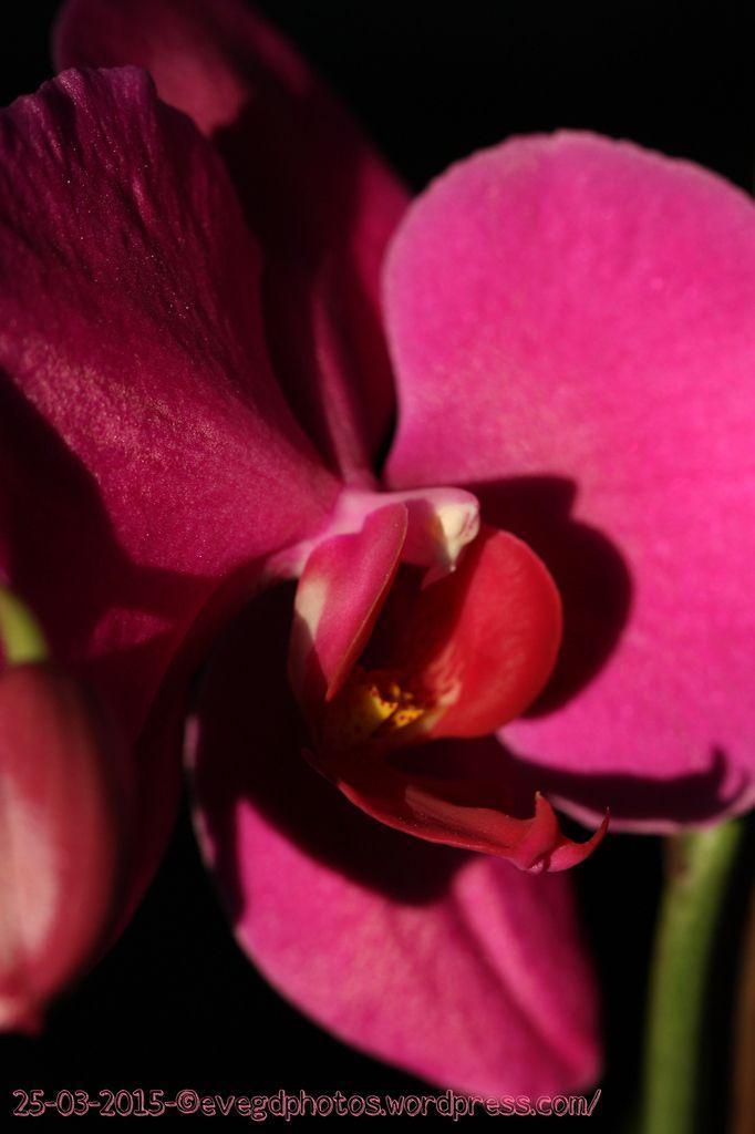 Bienvenue.... Au coeur de l'orchidée rose