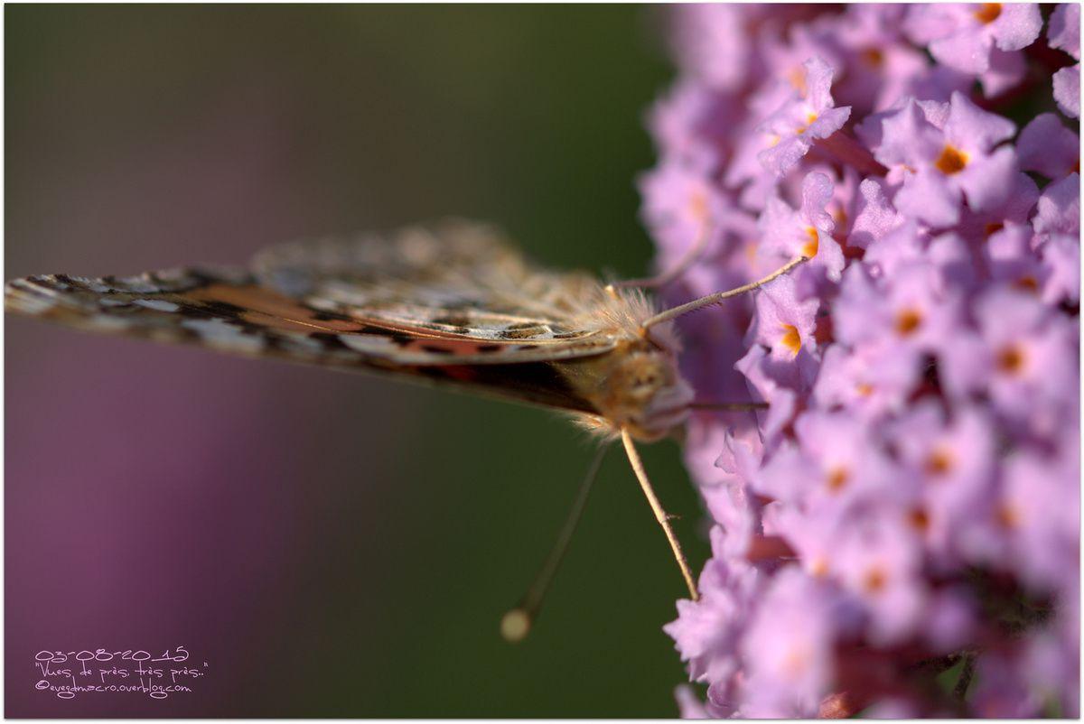 Papillons.. le retour !