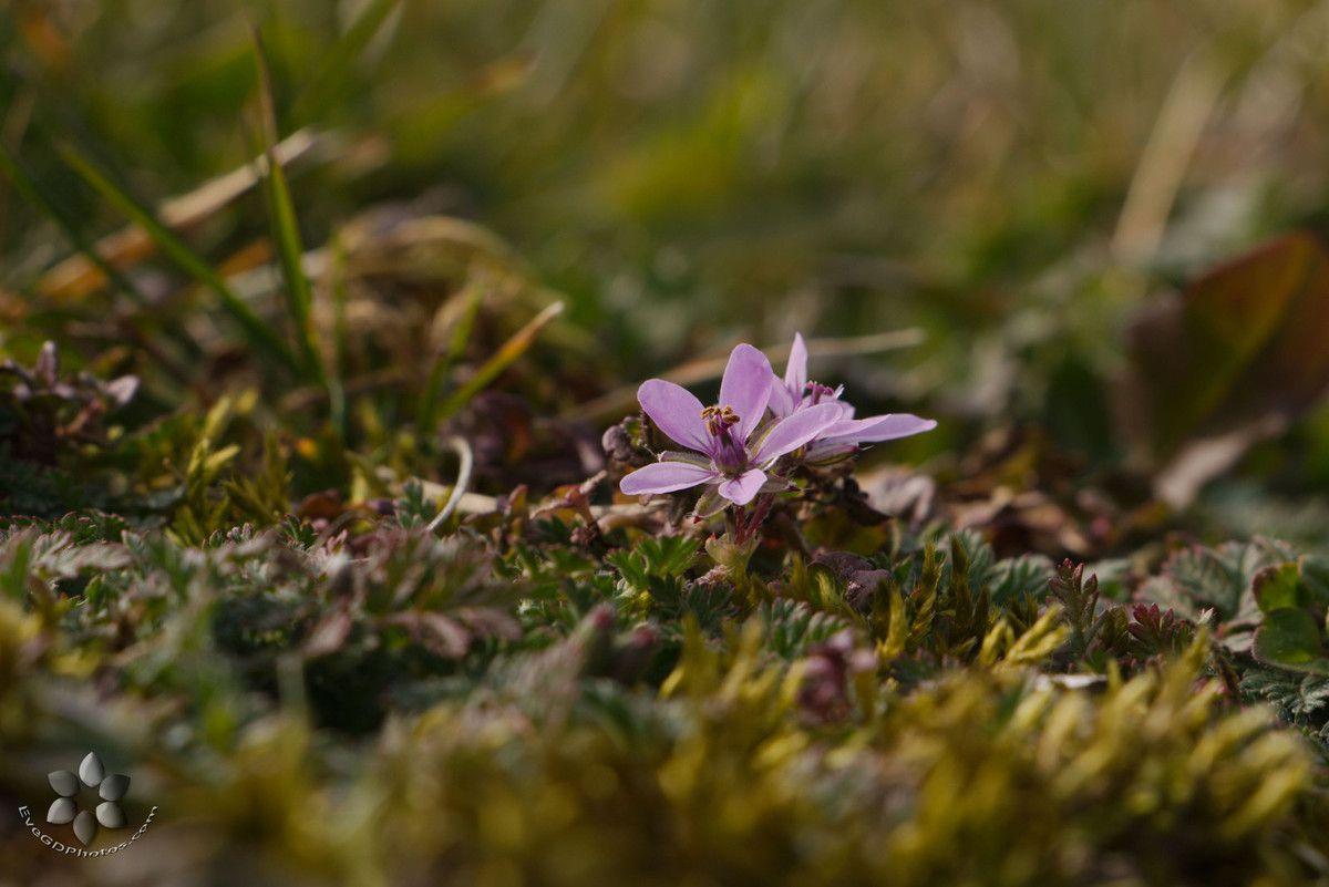 La petite fleur mauve..