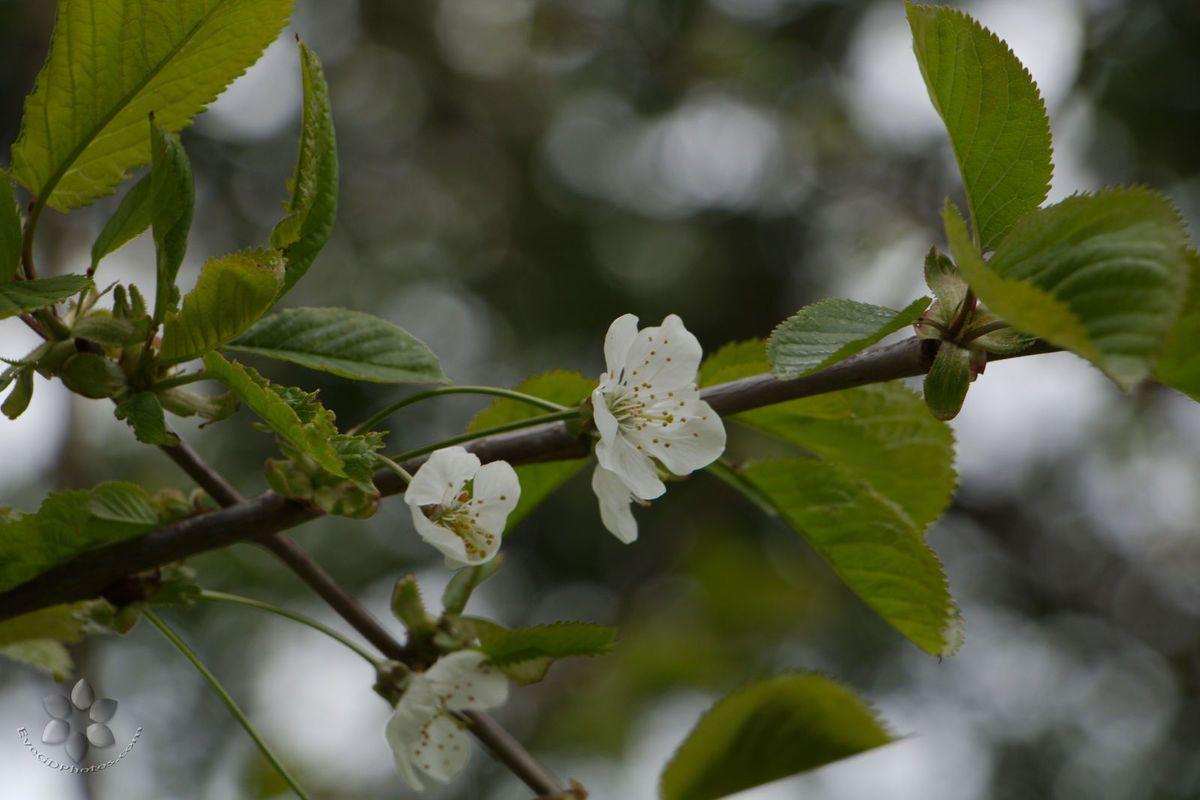 Les cerisiers sont blancs...