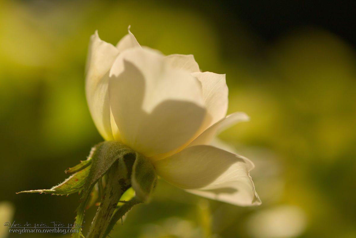 Juste une petite rose, le soir..