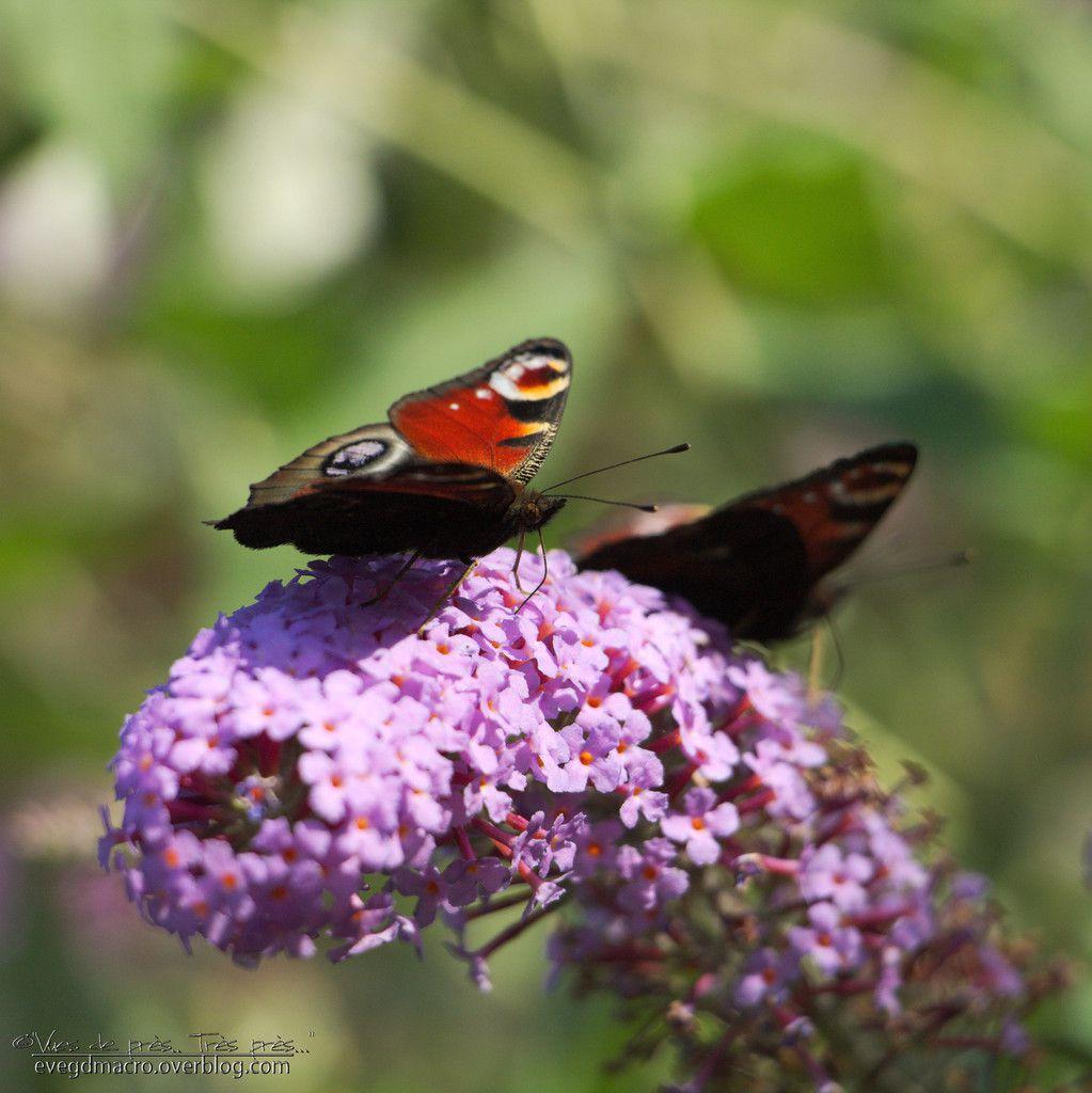 Papillon du jour, toujours l'amour...