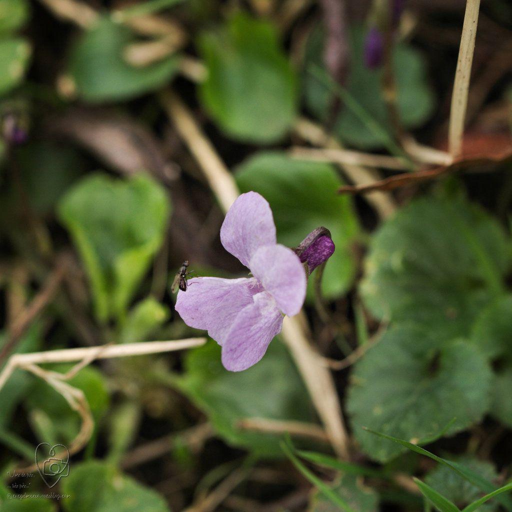 Fragiles... les petites violettes..
