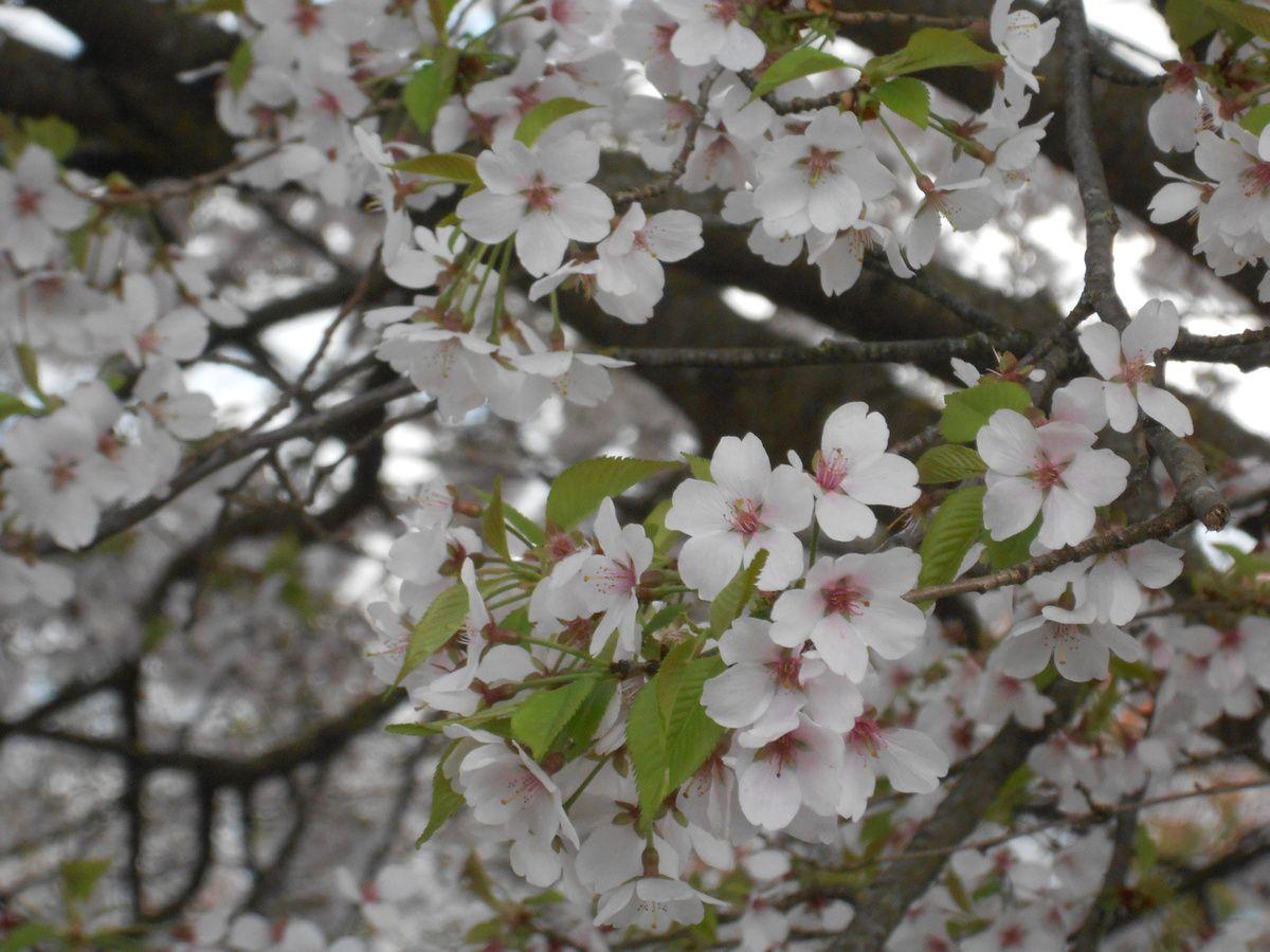 les arbres en fleurs de ce printemps