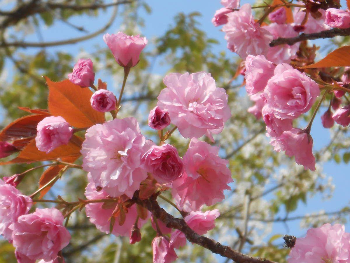 magnolias et prunus